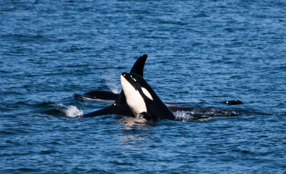 KILLER WHALE KIDS / J50 and J16. Photo by Naturalist Renee Beitz