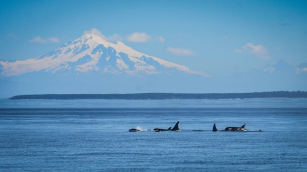 KILLER WHALE KIDS / J50 and J51 with the J16s. Photo by Naturali