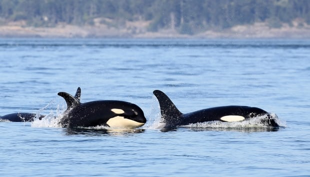 KILLER WHALE KIDS / J51. Photo by Naturalist Valerie Shore, Eagl