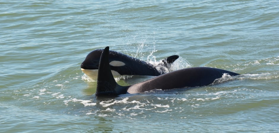KILLER WHALE KIDS / J50 with J16. Photo by Capt. Gary Sutton, St