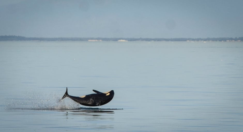 KILLER WHALE KIDS / J52. Photo by Naturalist/Capt Heather MacInt