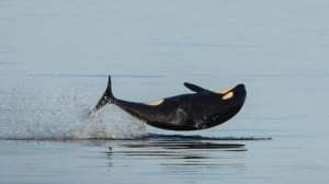Malnutrition suspected in death of young killer whale