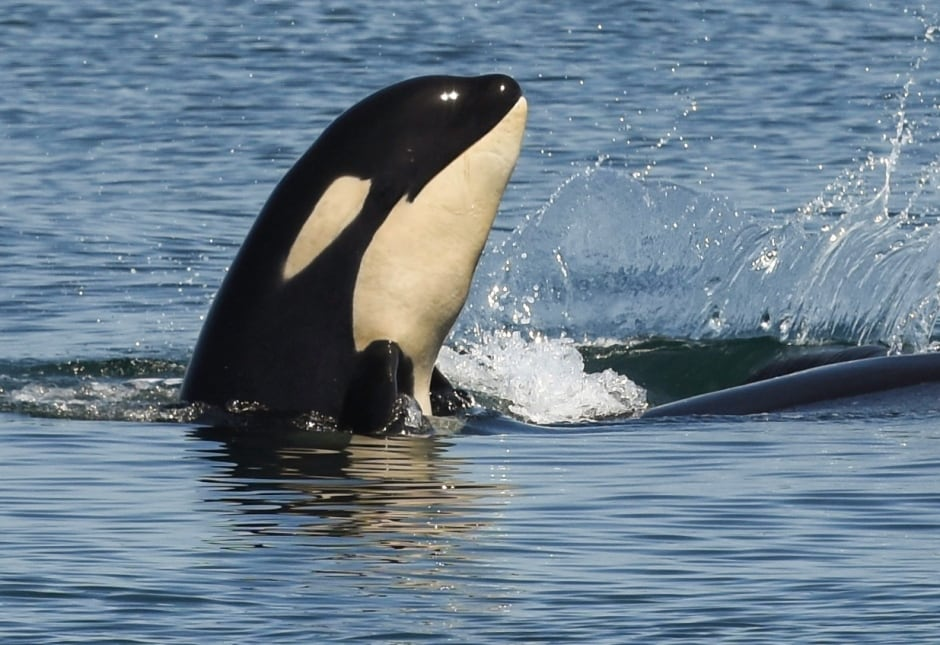 KILLER WHALE KIDS / J50. Photo by Naturalist/Capt Heather MacInt