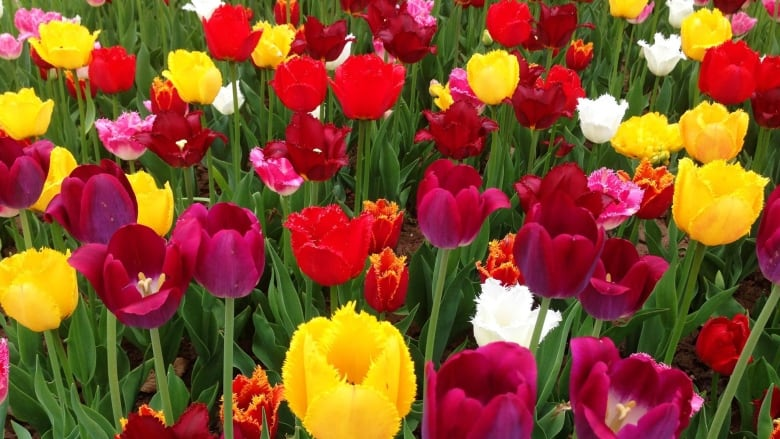 9 top tips for planting bulbs this fall cbc news tulips flower in a garden at veseys seeds in york pei veseys seedsfacebook mightylinksfo