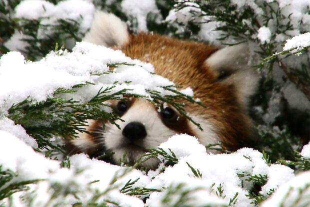 red-panda-calgary-zoo.jpg