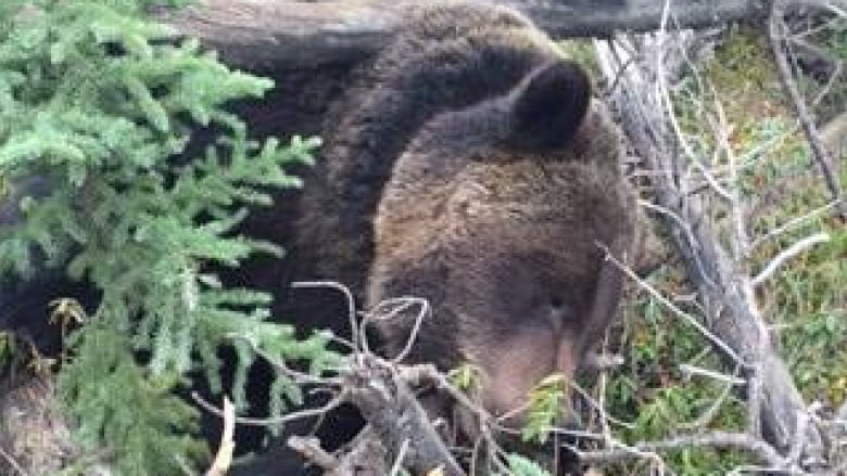 Wildlife Officers Looking For Poachers After Tagged Grizzly Found