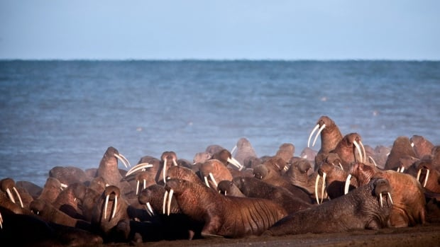 A 2013 file photo of walruses resting the shores of the Chukchi Sea near the coastal village of Point Lay, Alaska. Hundreds of Pacific walruses have been spotted on a barrier island this August, in the earliest known 'haulout,' according to the U.S. Fish and Wildlife Service.