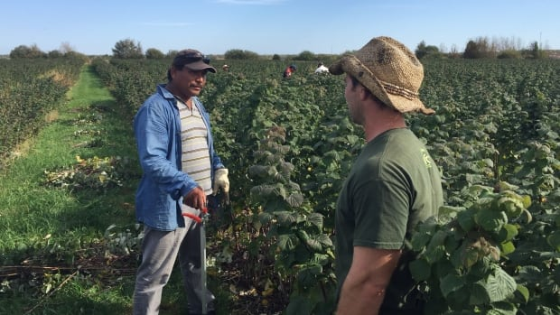 Leisure Farms manager Mitch Deschatelets chats with migrant farm worker Ariseo Fuentes, one of 13 Mexican labourers he brought in this season.