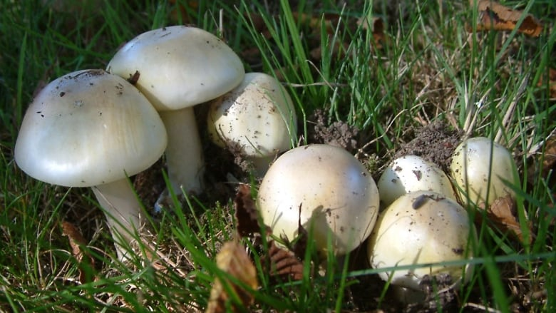 death cap mushroom advisory warns people to play it safe cbc news