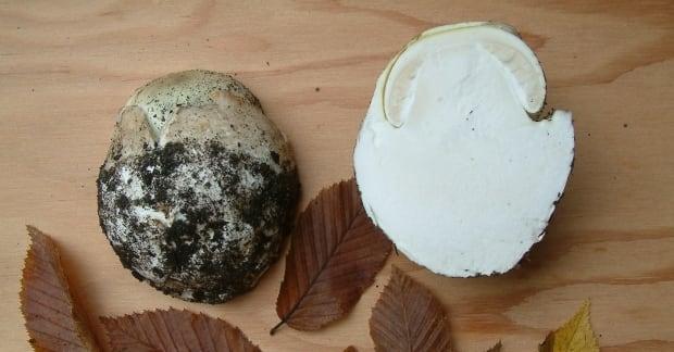Juvenile Amanita phalloides