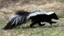 ODDITY Hibernating Skunks