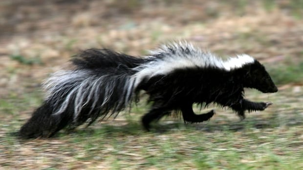 Got skunks in your home? Don't use a smoke bomb | CBC News