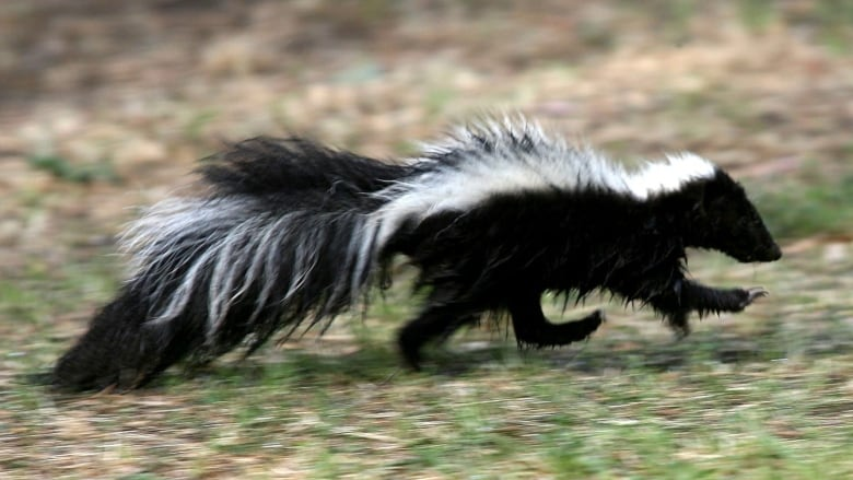 Boxes of skunks left outside New Westminster animal services office