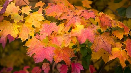 Fall colours expected to be 'drab' in southwestern Ontario