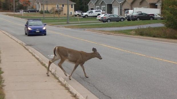 Deer crossing Quispamsis