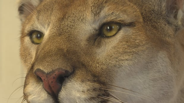Several residents near Tracy report having multiple run-ins with a large cat they believe is a cougar like the mounted one here that was shot by a New Brunswick hunter in B.C.