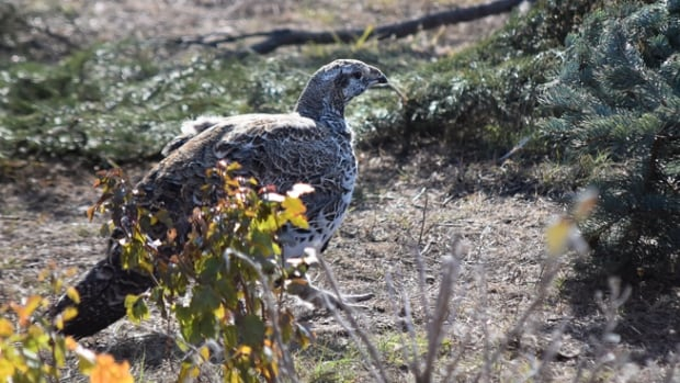 In the spring of 2016, it was estimated that the population of greater sage-grouse in Canada was between 250 and 350 individuals.