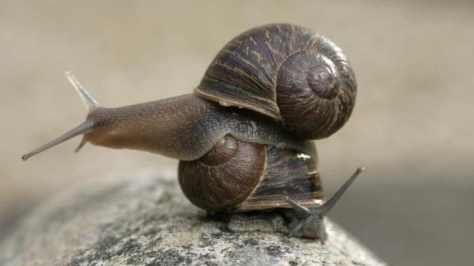 Jeremy the snail, on top, has a shell that swirls counter-clockwise or left, making him extremely rare. But thankfully, amateur snail scientist Jade Melton has found Jeremy a potential mate.