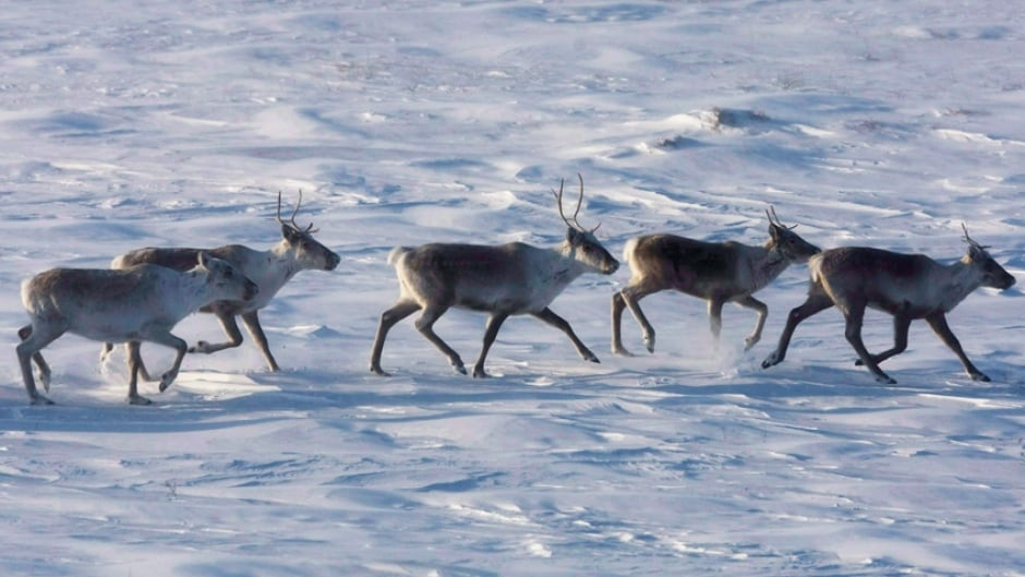 Wild caribou roam the tundra in Nunavut on March 25, 2009. The Porcupine caribou herd known for its epic annual migrations between the Northwest Territories and Alaska is thriving after a decade of decline.