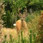Buck in Victoria