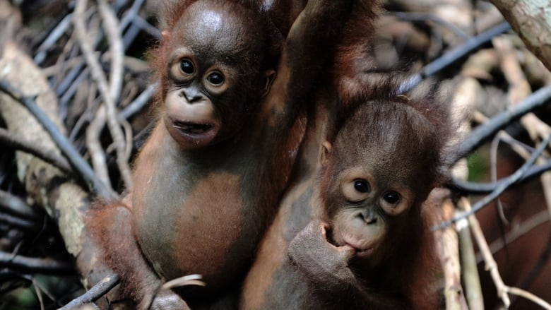 Image of: Endangered Bornean Endangered Orangutans Released Into The Wild Cbcca Endangered Orangutans Released Into The Wild Cbc News