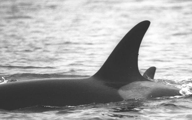 J28 southern resident orca dorsal nick