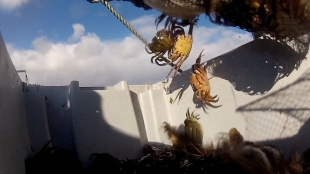 Crab being dumped into container