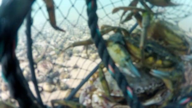 Crabs undewater