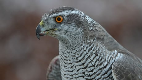 Haida Gwaii home to a distinct but vulnerable pocket of northern goshawks