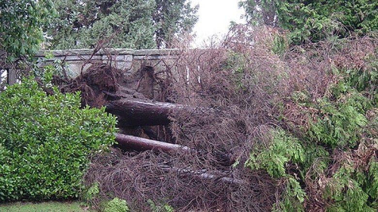 Nearly 10000 Trees In Stanley Park Were Damaged Or Uprooted During The 2006 Windstorm Padraic Flickr