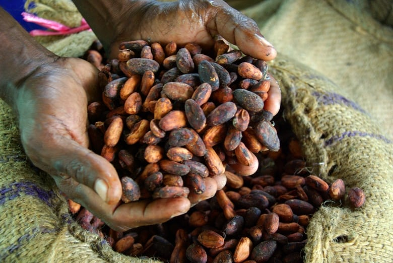 A global chocolate shortage? Scientists race to beat the