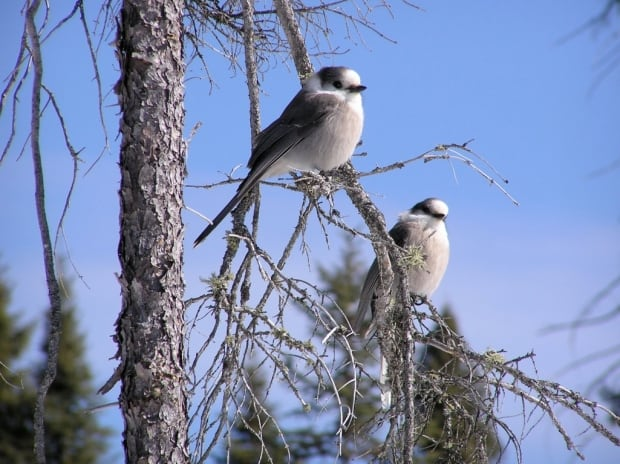Step aside, loon: Geographic society plucks gray jay as Canada's national bird