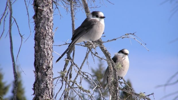 The grey jay, also called the whisky jack, is found in every province. It was chosen as the national bird by the Royal Canadian Geographical Society, but CBC's spelling of the bird's name has proved confusing for readers.