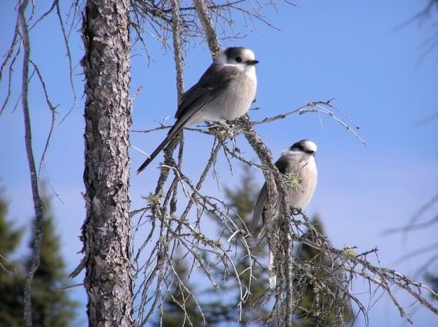 Gray jay pair