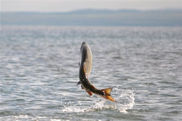 Chum leaping in Cold Bay Alaska US Fish and Wildlife Service