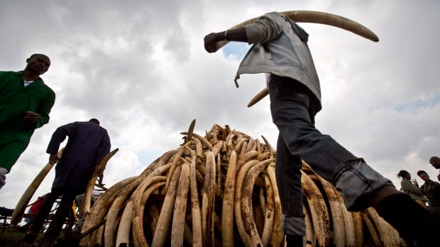 Workers from the Kenya Wildlife Service (KWS) carry elephant tusks from shipping containers full of ivory transported from around the country, as they stack it into pyres in Nairobi National Park on April 20, 2016.