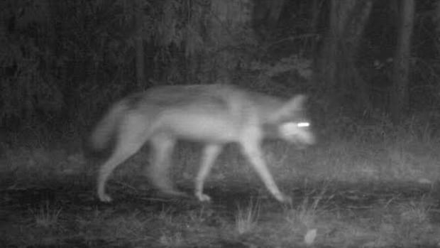 One of the wolves that roams the Pacific Rim National Park Reserve, captured at 2:15 a.m. PT on Saturday using one of Parks Canada's remote cameras.