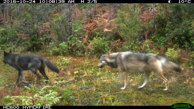 Daylight wolves
