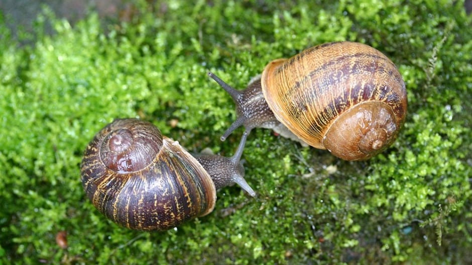 Jeremy and Lefty are a one-in-a-million match. The two snails both have rare backwards left-aligning anatomy which makes it impossible for them to mate with other garden snails.