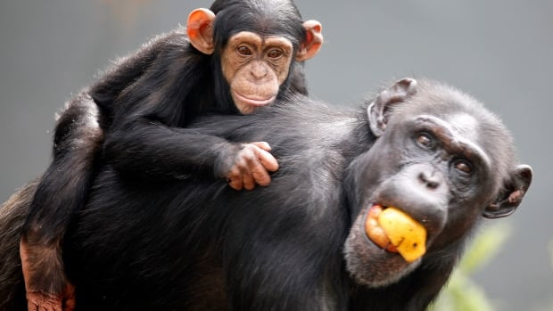 Along with Homo sapiens, some other great apes — like chimpanzees — have won limited rights in different jurisdictions around the world over the past few years.