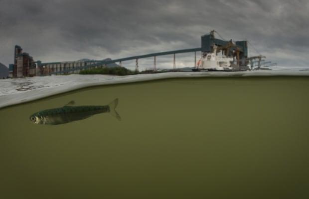 Salmon skeena estuary