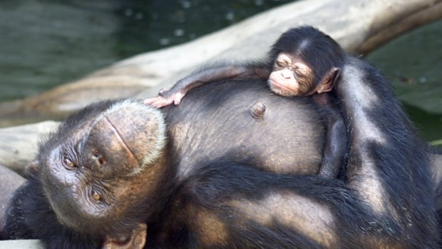 A new study from the University of Toronto looks at the benefits of babysitting among chimpanzees.