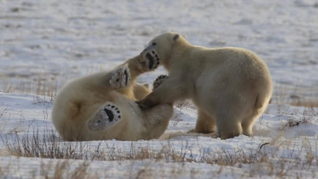James Tagalik took this photo of polar bears playing near the community of Arviat, Nunavut. A new study confirms that the bears are not active predators of humans; rather, polar bear attacks overwhelmingly happen when the bears are young and starving.