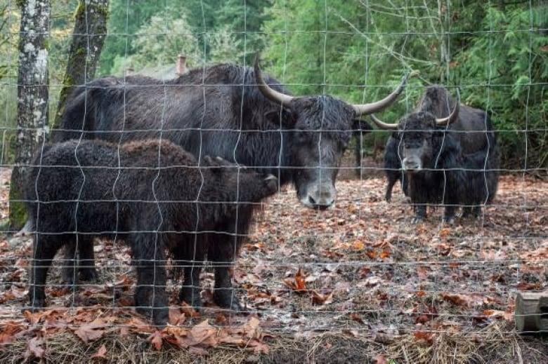 Yaks for sale on Craigslist | CBC News
