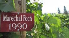 Foch grapes