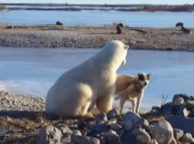 Gentle giant polar bear cuddles up with dog in Churchill