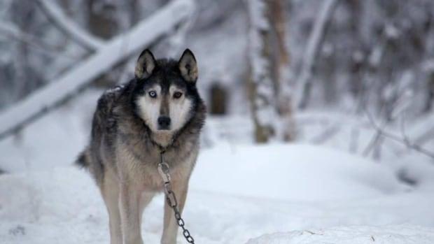 Director Fran Levitt's documentary Sled Dogs premieres at the Whistler Film Festival Dec. 3.