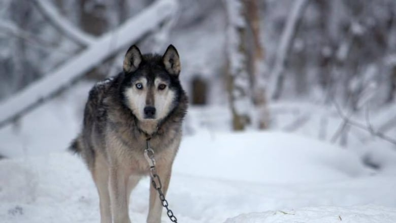 Mushers bracing for Sled Dogs' scathing indictment of industry | CBC