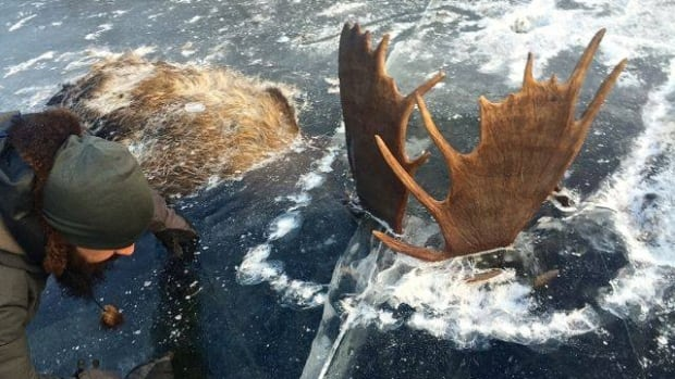 Brad Webster inspects the remains of two moose found encased in ice on Alaska's western coast.