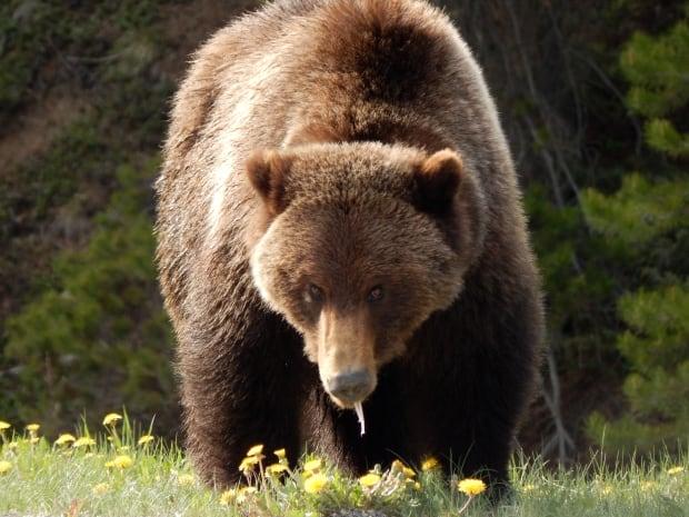 grizzlystudy